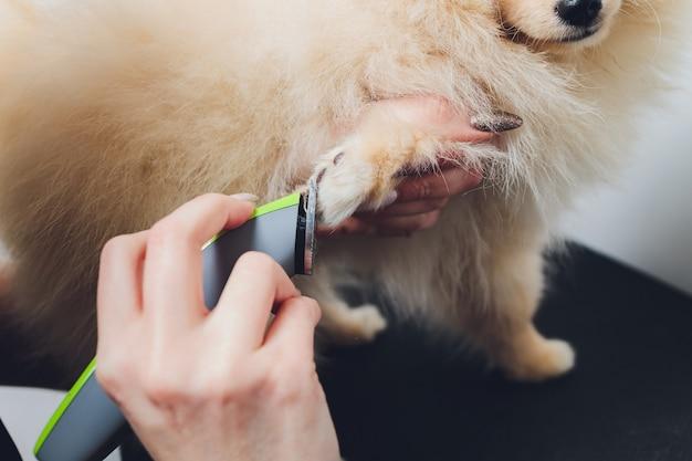 De pomeranianis op tafel, klaar om klauwen te knippen. dierenverzorging, hond manicure concept, close-up poten.