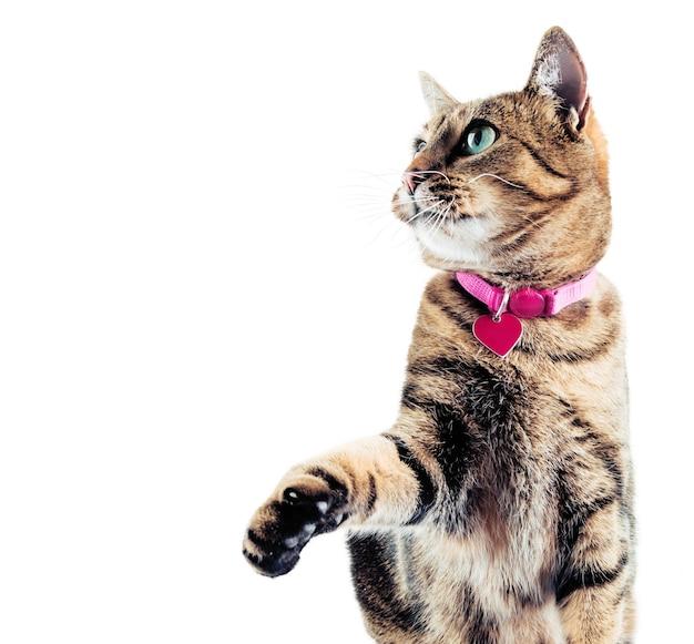 De prachtige bengaalse kat in de roze halsband kijkt op. gemengde media
