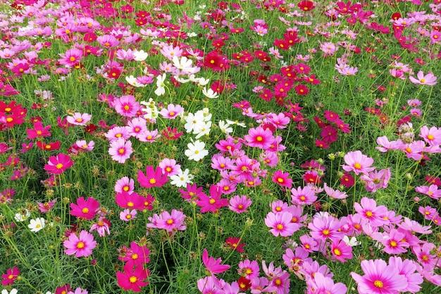 De prachtige tuin met roze en witte kosmosbloemen in volle bloei
