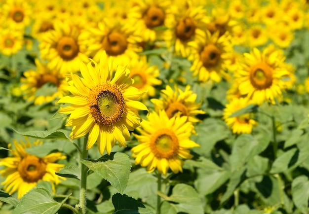 De prachtige zonnebloem met de kleine bij in het bloemenpark in de buurt van de bloemenboerderij op het platteland, vooraanzicht voor de kopieerruimte.