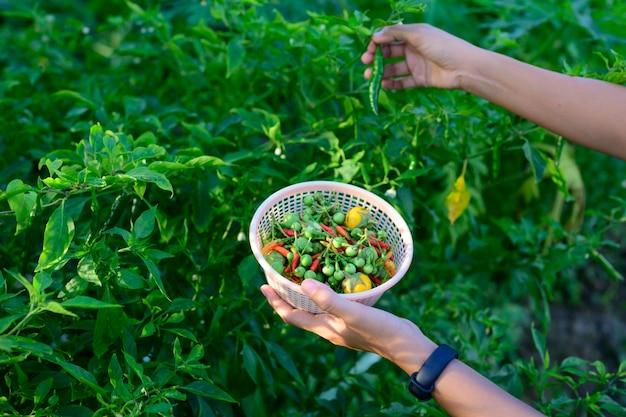 De producten van de groentetuin naast het huis.