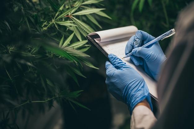 De productie van kruidengeneesmiddelen uit marihuana in medisch experiment
