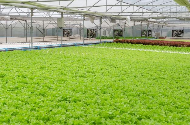De productie van verse groene groenten in de kwekerij van de serretuin