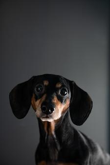 De puppy kijkt met een glimlach naar iets de achtergrond is grijs