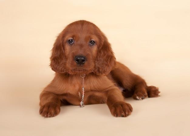De puppy van een setter wordt op beige verwijderd