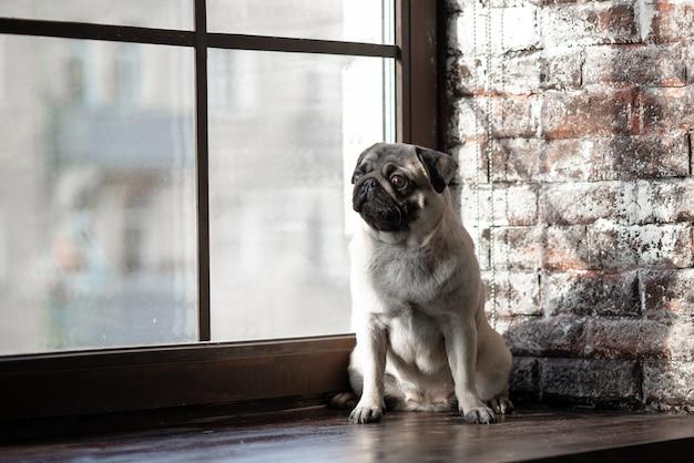 De puppypug zit verdrietig op het raam.