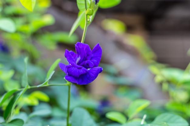 De purpere bloem die van de vlindererwt bloeien, sluit omhoog met groene verlofachtergrond.