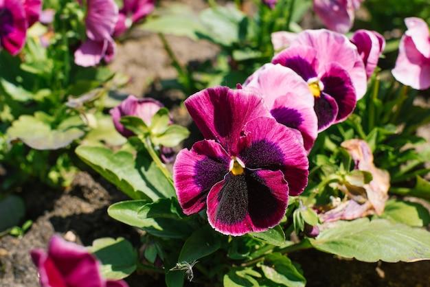 De purpere bloemen viooltjes bloeien in een bloembed in de tuin in de zomer op een zonnige dag