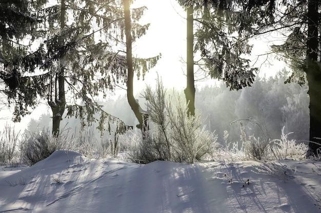 De rand van het bos waarop sparren en dennen groeien