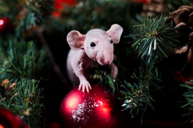 De rat van kerstmis zit op een rode bal