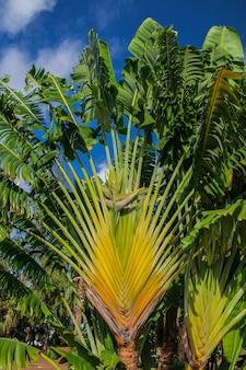 De reizigersboom van madagaskar