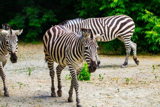 De rennende zebra's.