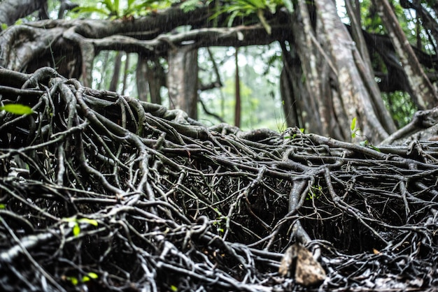 De reusachtige boom in de meest forrest fucus op wortel