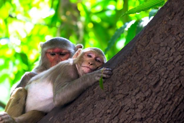 De rhesus macaque monkey slaapt op de boomtop en kijkt in de camera