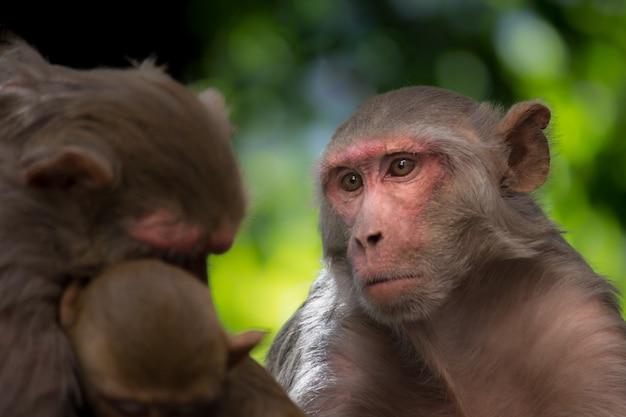 De rhesus macaque