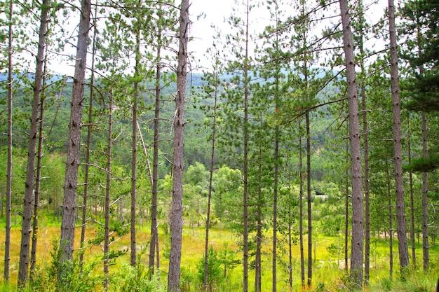 De rijlandschap van pijnboom bosbomen