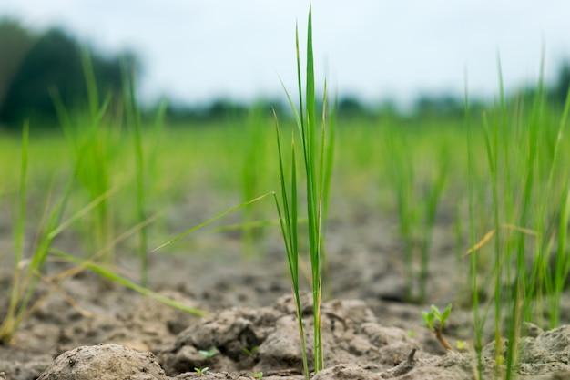 De rijst in de grond die geen water heeft,