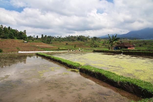 De rijstterrassen, bali, indonesië