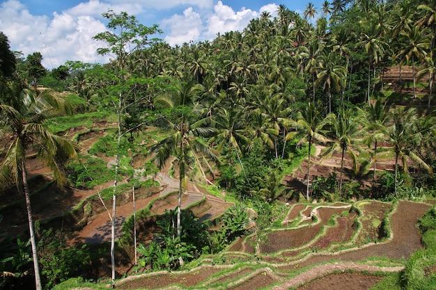 De rijstterrassen op bali, indonesië