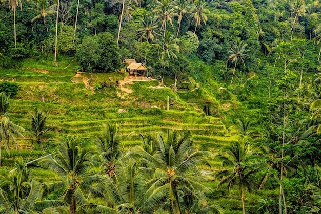 De rijstterrassen van tegallalang in ubud staan bekend om hun prachtige taferelen van rijstvelden en hun innovatieve irrigatiesysteem Premium Foto