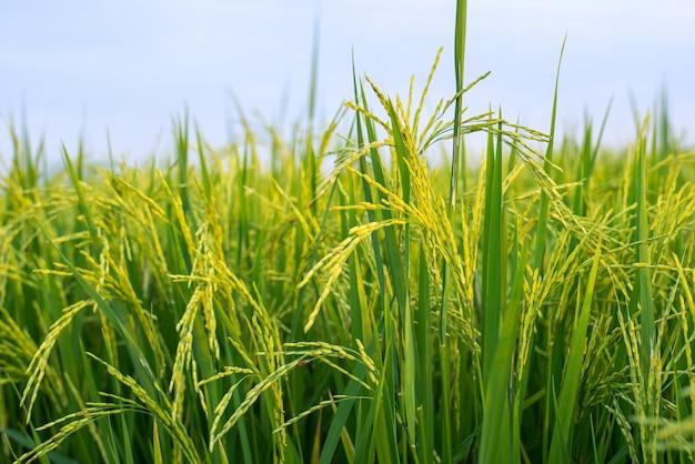 De rijstvelden staan in bloei