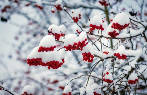 De rode bessen van gelderse roos bedekt met witte sneeuw in de winter