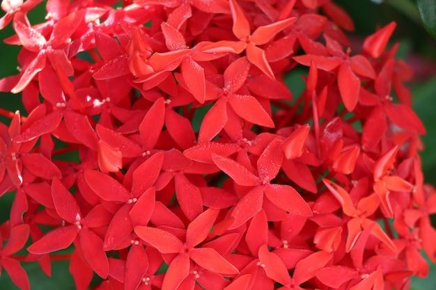 De rode bloem van rubiaceaeixora met de versheid van de ochtendzonsopgang op aardachtergrond