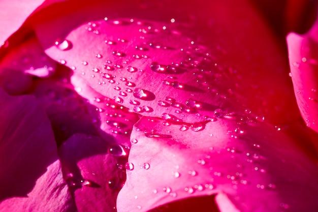 De rode bloemblaadjes van pioenroos met druppels regenwater, bloeiende plantendelen lente of zomerseizoen jaar een bed van bloemen in het park