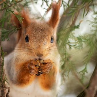 De rode eekhoorn op de boom