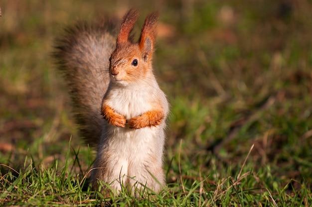 De rode eekhoorn staat op het gras en kijkt naar de camera.