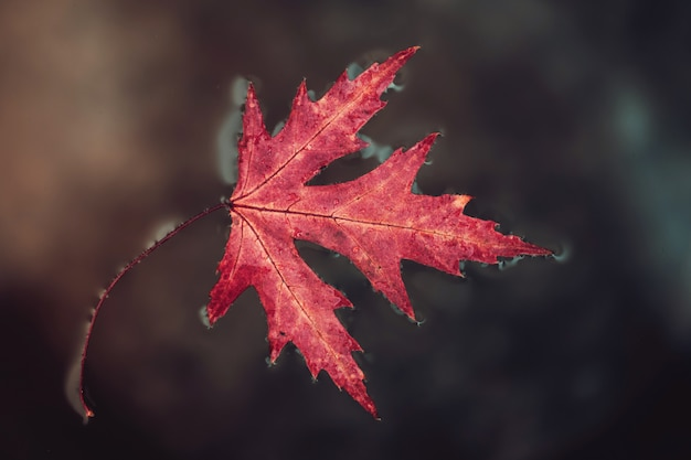 De rode esdoorn van het dalingsblad ligt op het oppervlaktewater.