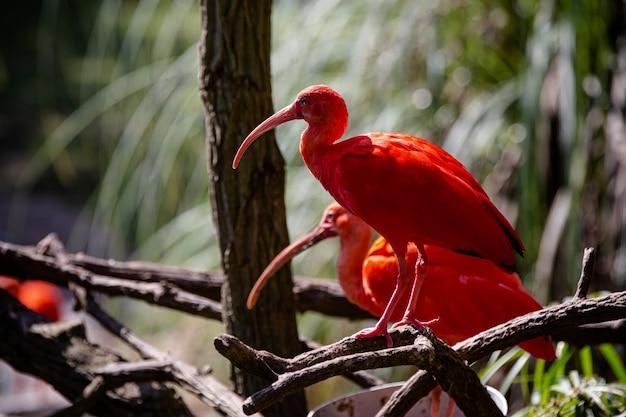 De rode guar is een pelecaniforme vogel van de familie threskiornithidae