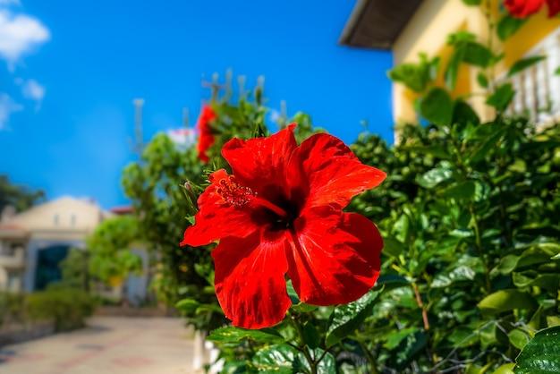 De rode hibiscus. toeristische riviera met bloeiende planten, zon en hotels