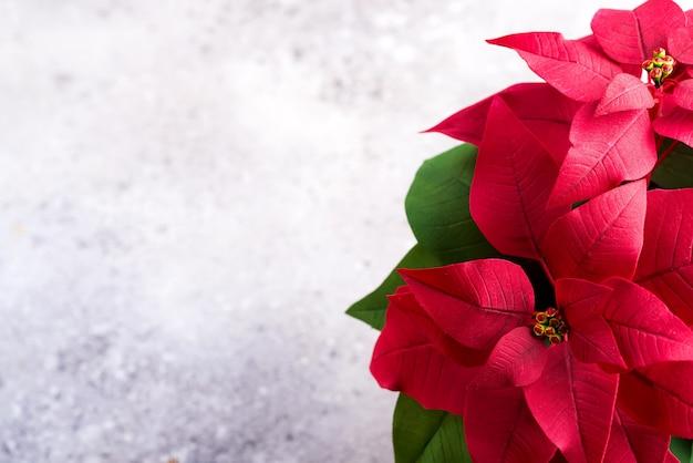 De rode installatie van poinsettiakerstmis op een steen grijs met copyspace. plat leggen. kerst cadeaukaart