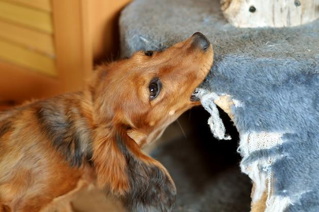 De rode langharige teckelhond kauwt meubilair