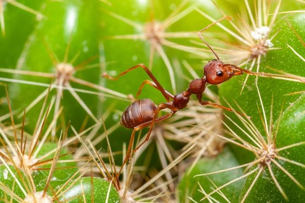 De rode mieren die op de cactus lopen, zijn omgeven door doornen