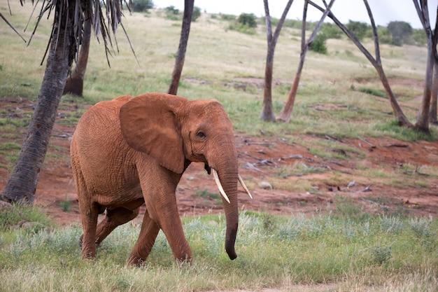 De rode olifant loopt tussen de palmbomen en bomen