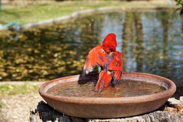De rode papegaaivogel van de close-up veegt de vleugel op het ronde waterbad van de kleipot in de tuin