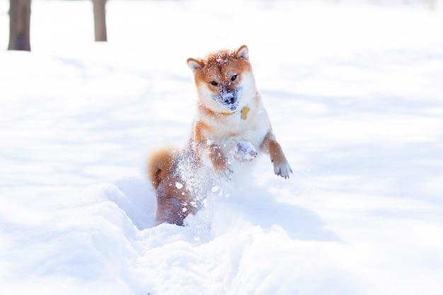 De rode shiba-inuhond speelt en loopt in een sneeuwpark