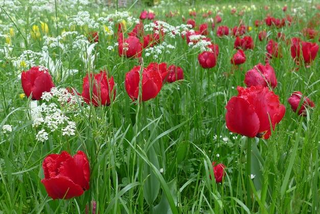 De rode tulpen en de witte bloemen op groene blad achtergrond