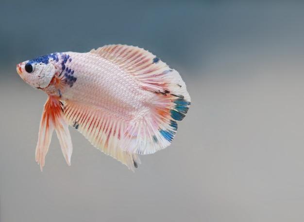 De rode witte bèta-vissenstaart zwemt in watertank