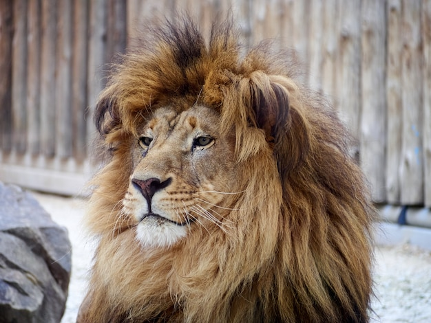 De roofdierdierentuin van het leeuwportret