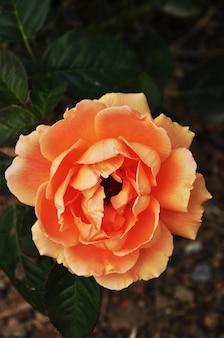 De roos. close-up van een bloeiende roos. de bloem is roze. achtergrond. textuur.