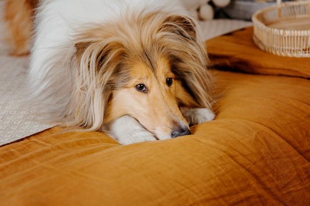 De rough collie hond in huis hond van binnen