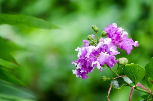 De rouwbandmirte van de koningin of paarse bloemen inthanin