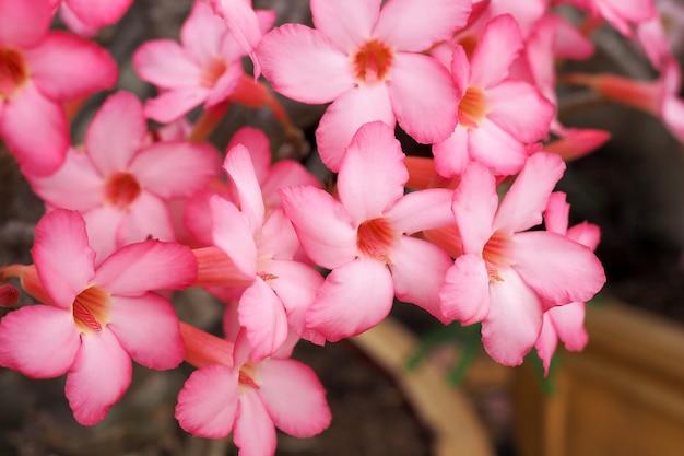 De roze aard van de azaleabloem in tuin