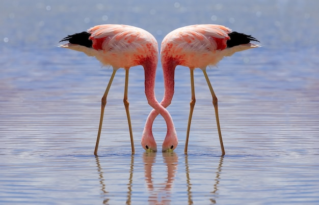 De roze andes-flamingo eet in laguna hedionda in potosi, bolivia. altiplano, zuid-amerika.