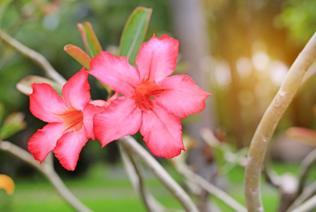 De roze azalea bloeit in de de zomertuin met stralen van zonlicht.