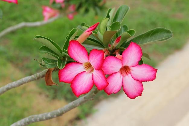 De roze azaleabloemen zijn bloesem in tuin