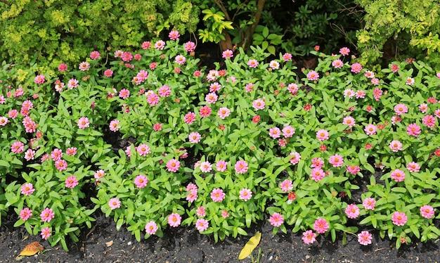De roze bloem van zinnia in de tuin.